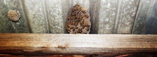 Гнездо ос под крышей
