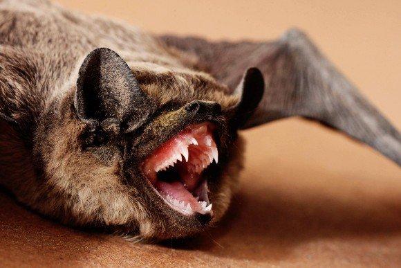Летучая мышь демонстрирует острые зубы