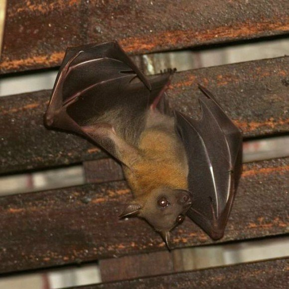 Летучая мышь повисла вниз головой, уцепившись за деревянную балку